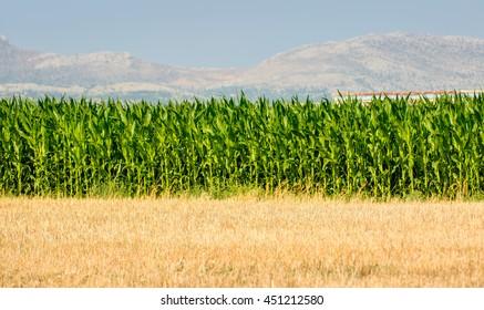 Green corn field background