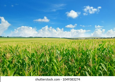 Green corn field and blue sky. Agricultural landscape.