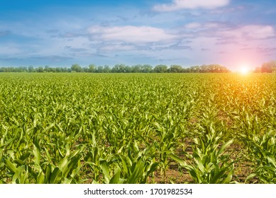 Green corn field, blue sky with white clouds and a beautiful sunrise.