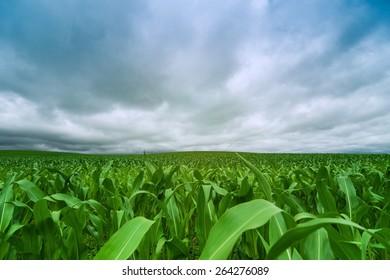 green corn field and blue sky cloud outdoor shot