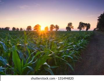 green corn field at sunset