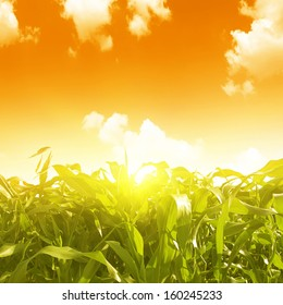 Green corn field and sunset.