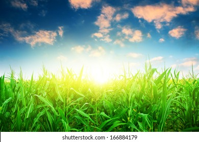 Green corn field under colorful sky with sun.