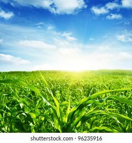 Green corn field,blue sky and sun on summer day.