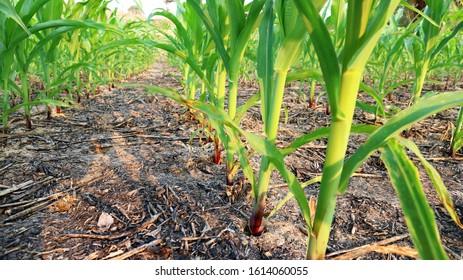 Green corn grown on the field, 7 weeks old