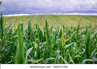 Green corn plantation in summer with dramatic sky.
