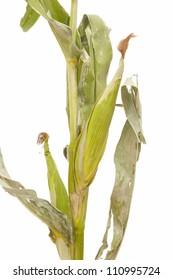green corn stalks