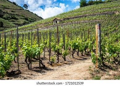 Green Cornas vineyard hills during spring season. France 2020.