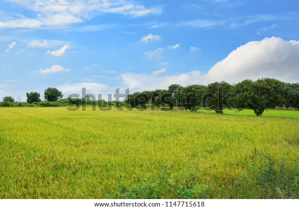 Green cornfield with blue sky and clouds in the morning at Thailand, Idea agriculture, Space for text in template, Travel and Ecological concept