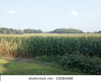 Green cornfield in shadows with a forest in the background