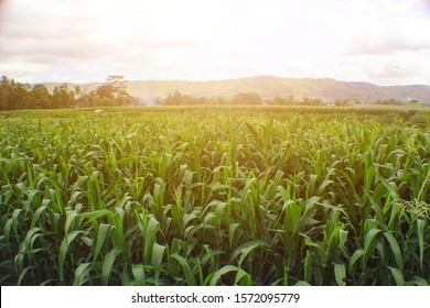 green cornfield in the sunset