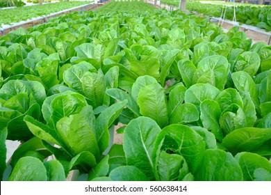 Green Cos Lettuce in the hydroponics farm