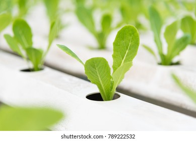 Green Cos in plant hydroponic farm, Hydroponics vegetables, Fresh vegetables for salads.