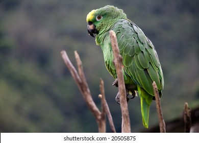 a green costa rican parrot close up