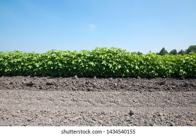 Green Cotton field in Summer
