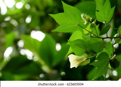 green cotton plant in the field