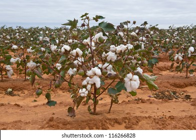 Green Cotton Plants in the field