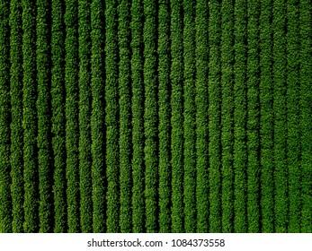Campo verde de papa con líneas de fila, vista superior, foto aérea de drone.