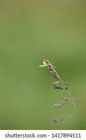 Green Crab Spider on Grass Head