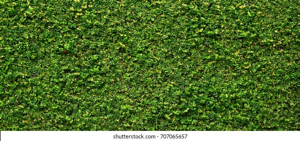 green creeper of bush on wall background