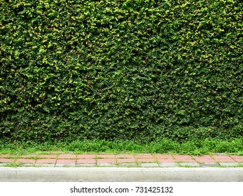 green creeper of bush on wall with footpath background