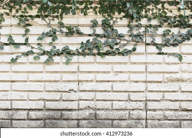 Green Creeper Plant growing on old brick wall