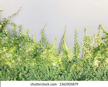 Green Creeper Plant on a Gray Wall Background