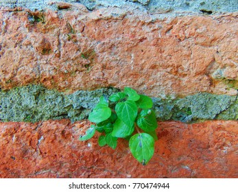 Green Creeper Plant on old cement wall background