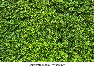 Green Creeper Plant on a Wall