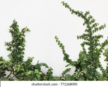Green Creeper Plant on a White Wall Background