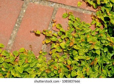 Green creeping plant climbing on red bricks, close up. For texture or background use. Lush growth of plants covering entire ground