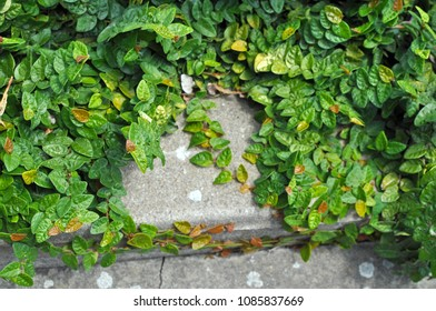 Green creeping plant climbing on the old steps, close up. For texture or background use. Lush growth of plants covering entire ground