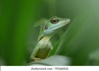 A Green Crested Lizard, camouflaged among the green vegetation. It is active during the day and is arboreal, found in bushes and tree around Singapore, usually in the forested.