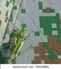 green cricket grasshopper