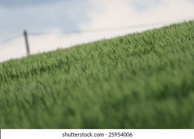 Green crop field with the electric poles