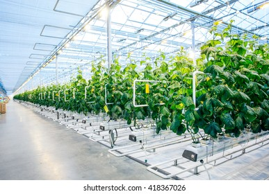 Green crop in modern greenhouse