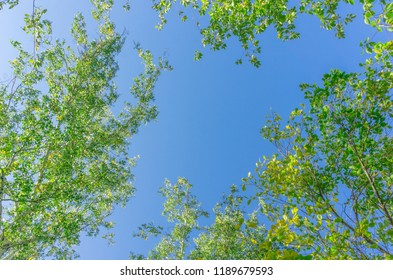 Green crown trees view from below into the sky. Green crown of trees against the sky. View of the sky through the trees from below