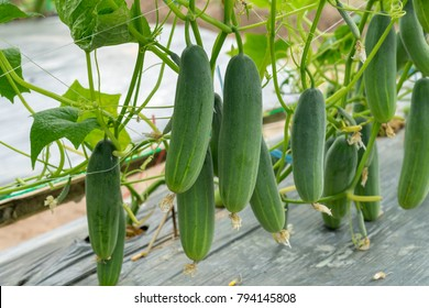 Green cucumber growing in field vegetable for harvesting.
