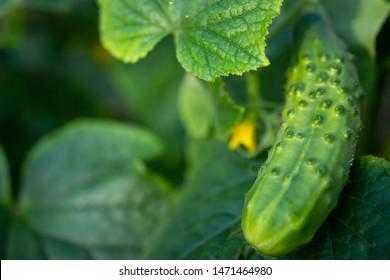 Green cucumber on garden. Cucumber ripen on the garden