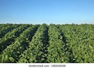 Green cultivated soy bean plant in field with clear blue sky, agriculture in spring