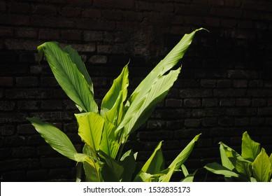 The green Curcuma longa leaves with dark brick background at yard