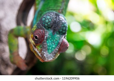Green curious chameleon