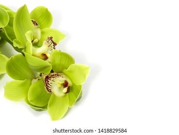 Green Cymbidium Orchid on white background