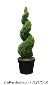 Green cypress isolated on a white background, spiral, twisted, pyramidal figured, decorated, in a pot