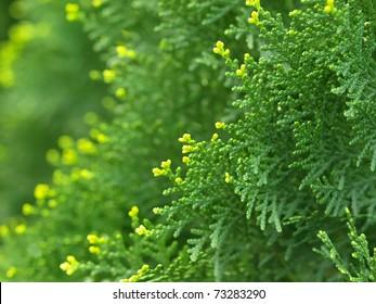 Green cypress tree, macro