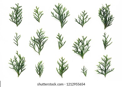 Green cypress twigs on white background. Flat lay.