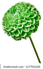 Green dahlia flower on a white isolated background. Flower on the stem. Closeup.  Nature.