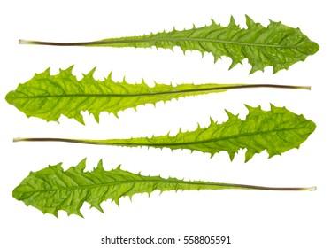 Green dandelion leaves on white