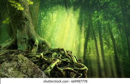Green dark forest, sunbeams, old tree with crooked interlaced roots and rock
