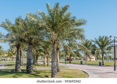 Green date palm trees in the corniche park in Dammam, Saudi Arabia